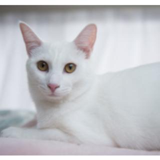 【ゆきお】白猫つやつや男子!