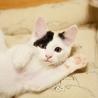 ふわふわとび三毛美猫【スピカ】