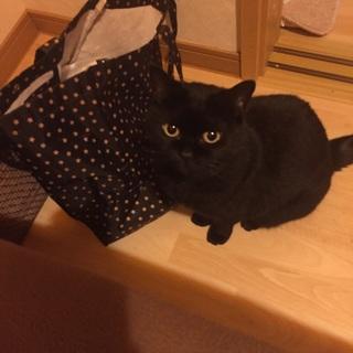 【個人募集】甘えんぼの美黒猫【猫用品譲ります】