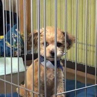 11ヶ月のチワワとトイプードルのミックス犬。