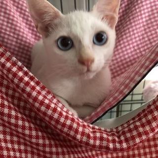 白猫ブルーアイの甘えん坊