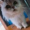 気品溢れるペルシャ猫⸜⌄̈⃝⸝☆*。