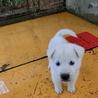 紀州犬オス。生後1か月です。