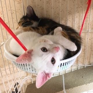 白猫ゆず★2ヶ月半♀【9/9千葉市譲渡会】