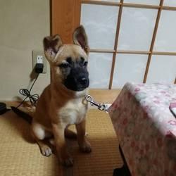 保護犬しもみちゃん改めHoneyちゃん
