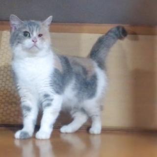 レスキュー猫(マンチカン)