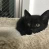黒猫の仔猫の里親さん募集!