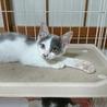 白グレー子猫 ミクちゃん サムネイル2