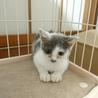 白グレー子猫 パクくん サムネイル2
