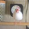 白文鳥♀1歳9ヵ月程度の里親募集
