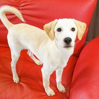 垂れ耳が可愛い性格良い 4ヶ月の子犬
