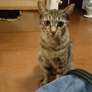 まんまるお目めの、キジ猫ドリーちゃん