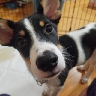 お耳が大きいジャックラッセル似の男の子