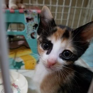 アイラインくっきりの美猫三毛ちゃん❤
