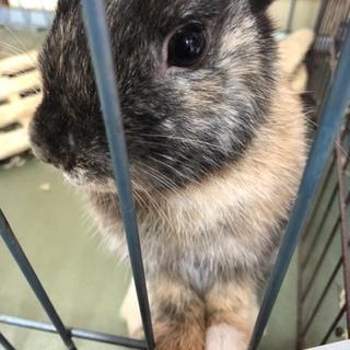 ミニウサギ♂4ヶ月