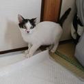 白黒 子猫 コボちゃん