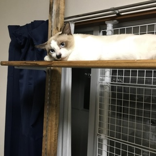 シャム系 保護猫