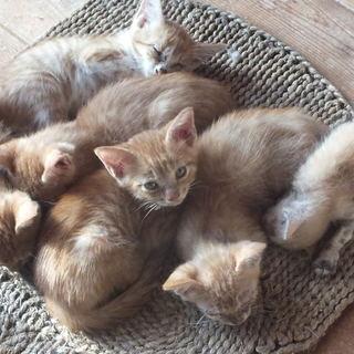 茶トラ6匹子猫☆生後2か月と1か月☆野良猫の子猫!