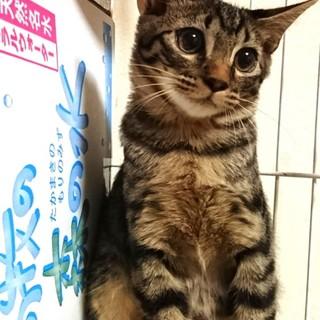 目がクリクリ遊び好きサバ子猫!