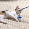 大きな瞳が印象的★正統派の三毛猫 ナナ サムネイル2