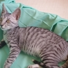 ワイルドなお顔のシルバー子猫 サムネイル2