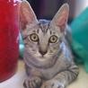 ワイルドなお顔のシルバー子猫 サムネイル4