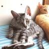 ワイルドなお顔のシルバー子猫 サムネイル7