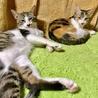 大きな瞳が印象的★正統派の三毛猫 ナナ サムネイル5