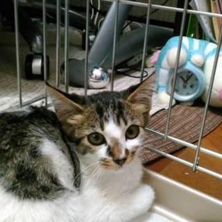 【白ちゃん】生後1ヶ月半位のかわいい子猫兄妹