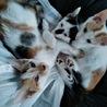 綺麗なとび三毛のメメちゃん★4ヶ月 サムネイル3