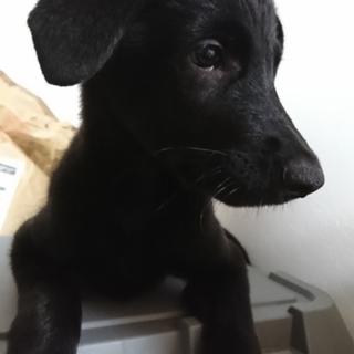 ゴールデン×シェパードのMIX犬です。