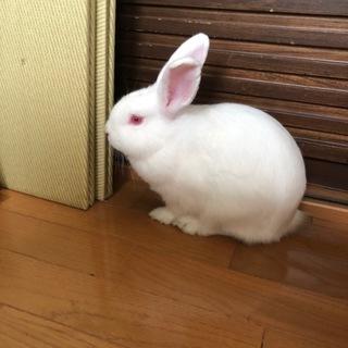白いウサギの里親募集