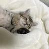 ミヌエットの子猫(血統書付)