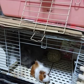 ウサギ2羽、モルモット1匹の引き取り希望!