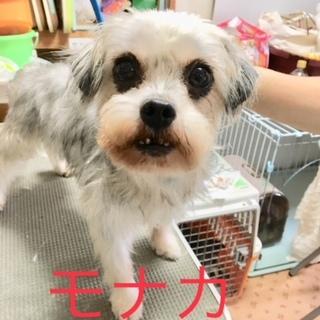 小型犬9頭レスキュー 里親募集【モナカ】