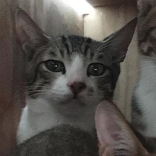 美猫 キジ白 男の子 ♂ 生後約半年