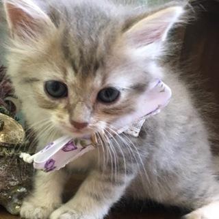 ブルークリーム色の男の子猫ちゃん