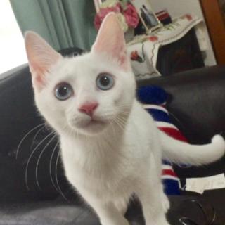 瞳がきれいなブルーの真っ白な仔猫ちゃん