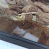 カナヘビの尻尾の先