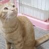 子猫以上大人未満★成長中の茶トラボーイ・彦太