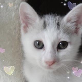 2ヶ月☆可愛い白三毛 陽ちゃん