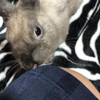 ネザーランドドワーフ/ウサギ
