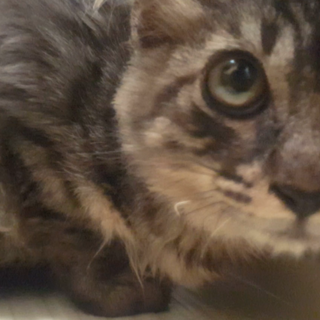 大人しいオス猫 生後6か月くらい