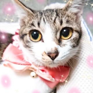 6ヶ月位 美猫の白キジ!人が大好き小夏ちゃん☆