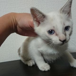 生後2ヶ月☆シャムMIX女の子