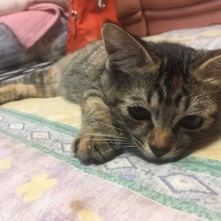 生後2ヶ月程の甘えん坊のメスの子猫です!