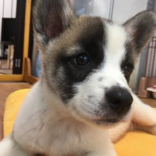 子犬のブチくん、好奇心旺盛でとても賢いパピー