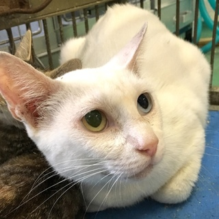 オッドアイの眼を持つ真っ白猫ちゃん