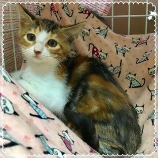 2ヶ月☆三毛猫の可愛い女の子 ナミちゃん