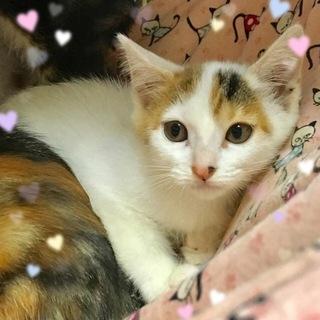 2ヶ月☆白系の三毛猫☆ロビンちゃん